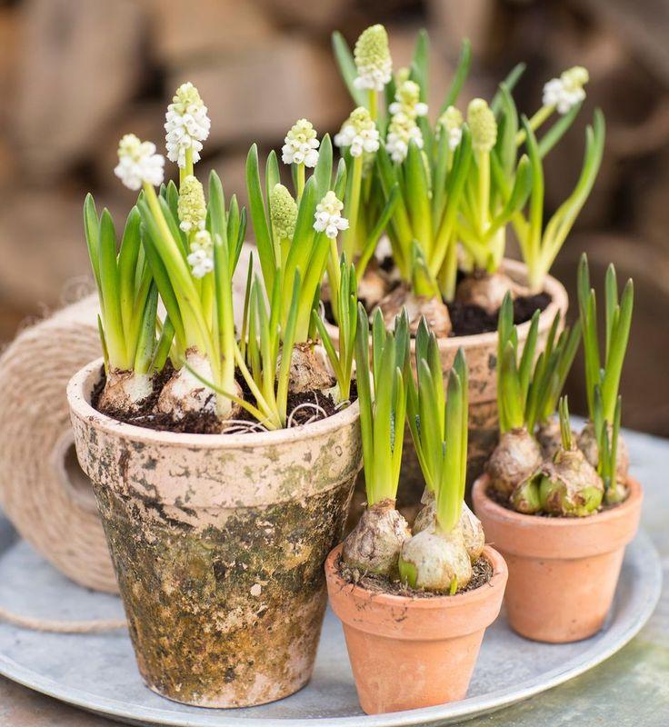 Hvit Muscari er en nydelig vårblomst. Foto: floradania.dk