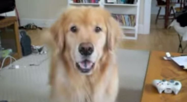 Laughing Golden Retriever! This dog has a super talent. This video is about a beautiful funny Golden Retriever dog that is talented in smiling.
