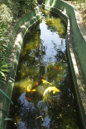 There are two ponds with a water-filtration system built by no less than Cito Beltran, with one pond filled with giant koi, and another with freshwater tilapia, which the kids fish themselves.