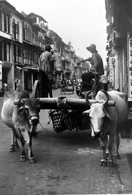 VIEW OF A BULLOCK CART, SINGAPORE 1950