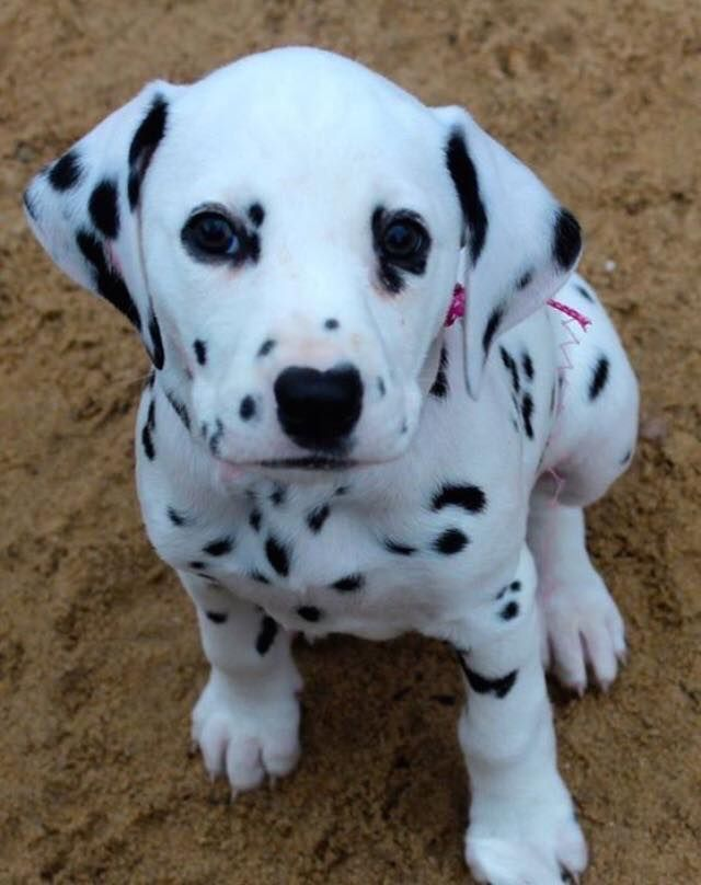 699 best images about dalmatian puppies on pinterest