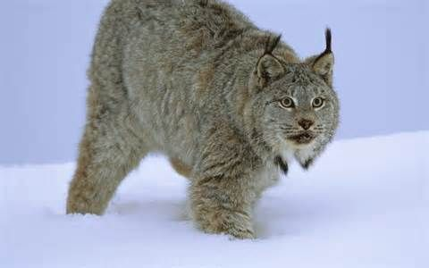 lynx animal - Yahoo Image Search Results