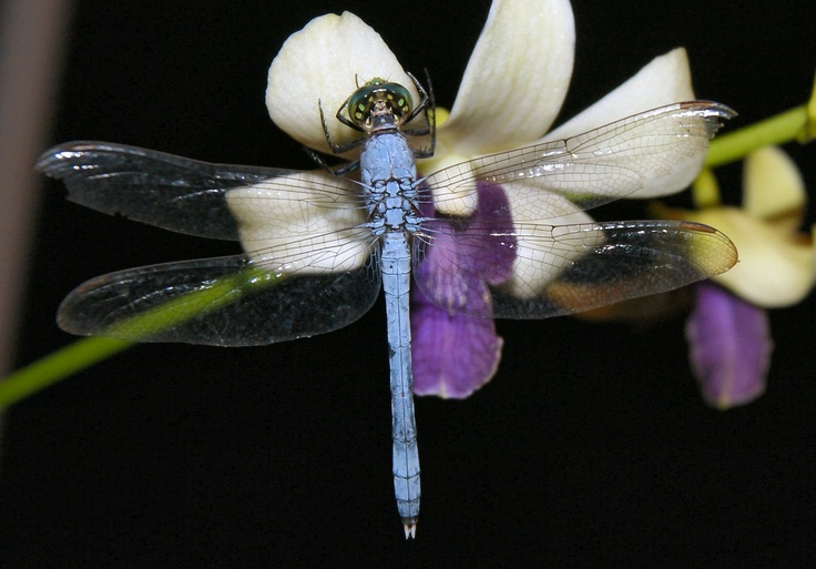 blue dragonfly at night
