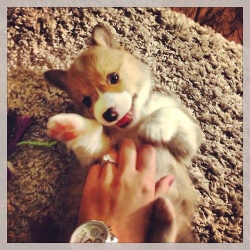 Cardigan Welsh Corgi Puppies For Sale In California 46