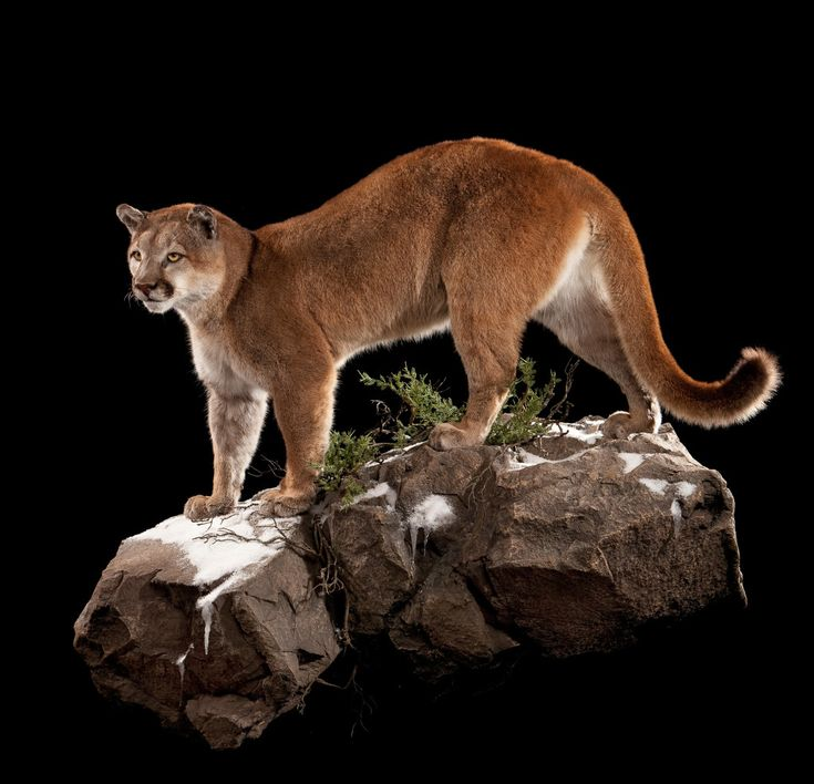 B Mobile Mountain Lion 17 Best images about T...