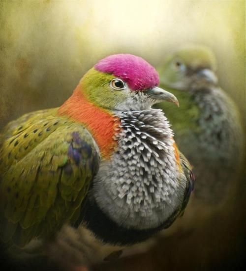Superb fruit dove - photo by Pauline Fowler