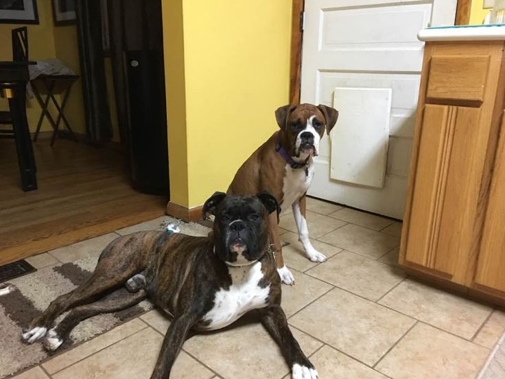 My kiddos. Loki (brindle) and Freyja. They have the same sire.   http://ift.tt/2oa17kk via /r/dogpictures http://ift.tt/2o3bOor  #lovabledogsaroundtheworld