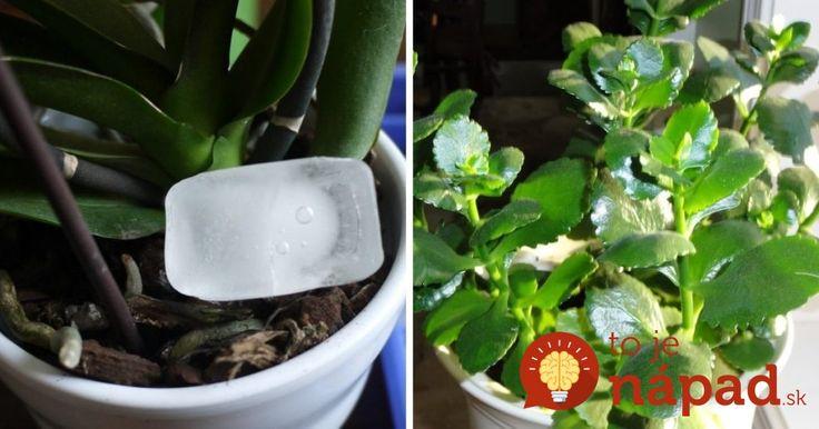 Máte doma tieto rastliny? Môžu vám krásne kvitnúť celú zimu, poradíme ako na to!