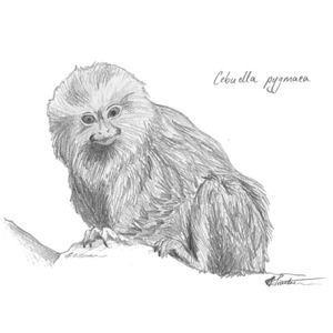 A #cute #pygmy #marmoset. Take it home today! http://bit.ly/2atKSKF  #art #illustration #drawing #animals #sketch