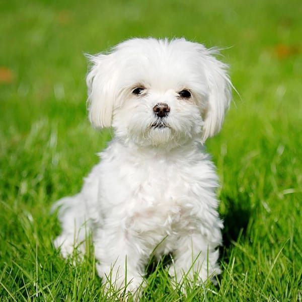 Maltese hypoallergenic Dog