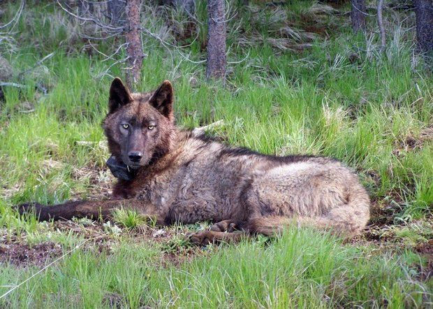 Amaroq Weiss Last week, a wandering 2-year-old happened upon a sweet-smelling devicein the woods of northeast Oregon and bit into it. The bite released cyanide poison into its mouth, causing this young, healthy wolf to essentially suffocate. That curious...