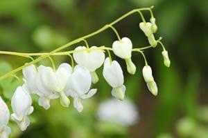Eine dicke Schicht Humus oder Rindenmulch speichert die Feuchtigkeit - auch in den heißen Sommermonaten. Als Nachbarpflanzen eignen sich Farne, Astern, Storchenschnäbel... #Traenende #Herzen sind, was heute viel zu wenige nutzen, gute Blumen für die Vase, wunderschön mit #Euphorbien und #Gemswurz, wie die Pflanzenkennerin Marianne Beuchert empfiehlt. Sie werden geschnitten, wenn zwei Drittel der Blüten geöffnet sind. |