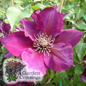 Picardy clematis 39 evipo 024 39 picardy clematis is the for Indoor gardening diana yakeley