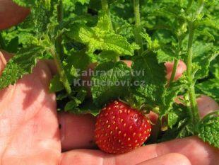 Mentha species 'Erdbeerminze' - máta jahodová