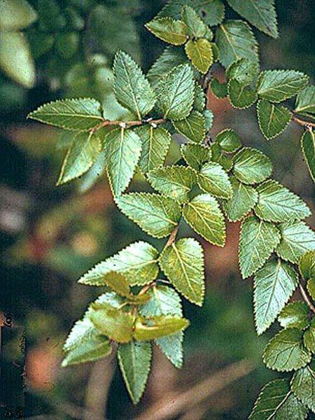 Nothofagus nitida | Trees | Patagonia Plants