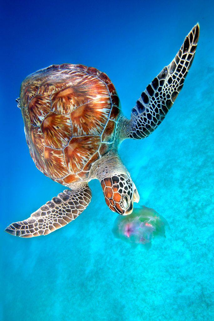 imalikshake:  Green Turtle eating Jellyfish - Dimakya Island, Philippines by Ai Gentel on Flickr.