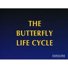 Life Cycle of the Painted Lady Butterfly Video would compliment your unit on Painted Lady Bufferflies.  #carolinaextracredit @Carolina Biological Supply Company