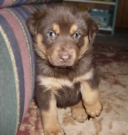 Rocky the Husky/Rottweiler Mix