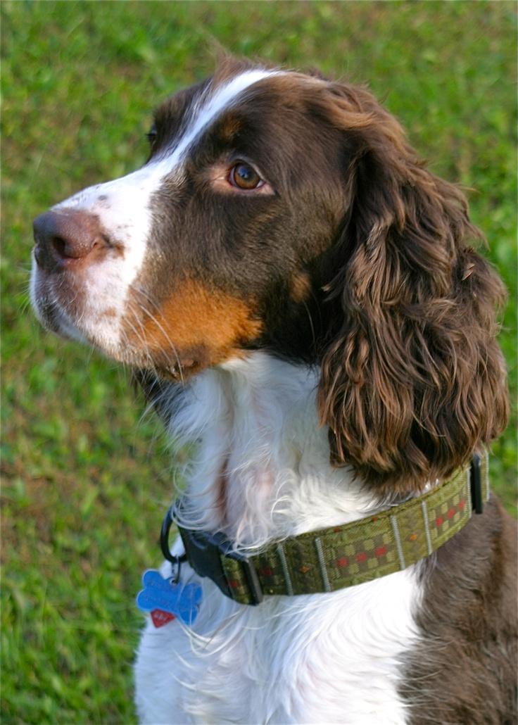 Fuller - Beautiful Springer Spaniel!