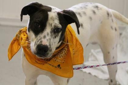 NAME: Oliver Twist   ANIMAL ID: 25318272   BREED: Dalmatian mix   SEX: male   EST. AGE: 6 mos   Est Weight: 31 lbs   Health: heartworm neg   Temperament: dog friendly, people friendly   ADDITIONAL INFO:  RESCUE PULL FEE: $49   Intake date: 4/4   Available: Now