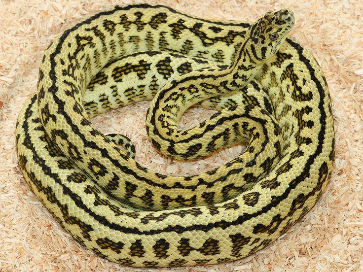 Jaguar Carpet Python   Zebra Jaguar Carpet Python   carpet ...