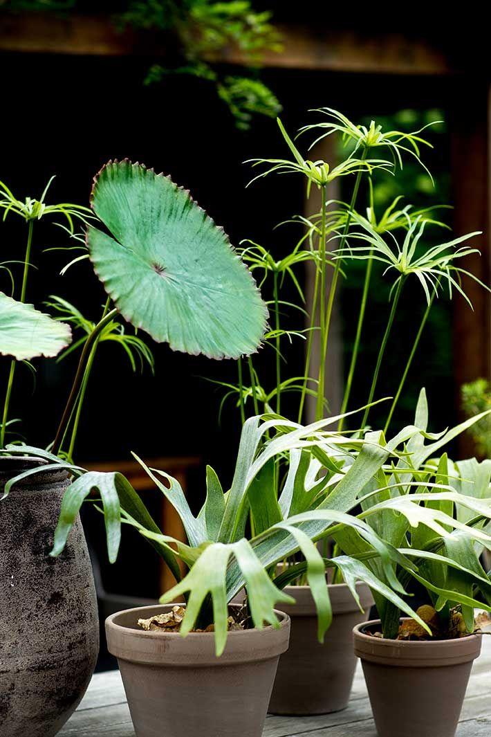 Hertshoorn planten/ stag-horn plants