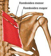 Romboides: Add, Desplazamiento posterior, Elevación, Rotación superior