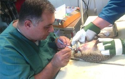 Российские ветеринары удалили ежу 20 зубов
