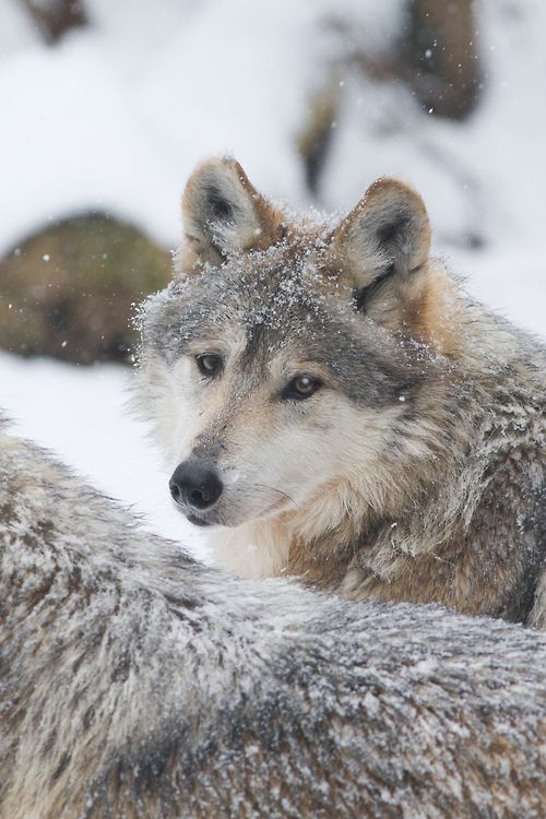 11 best wolven images on Pinterest