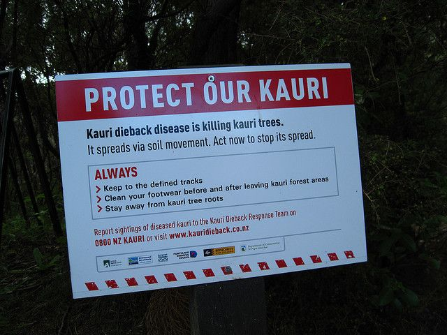 Keep kauri standing! Learn how you can help: www.kauridieback.co.nz. Photo: ap2il | flickr