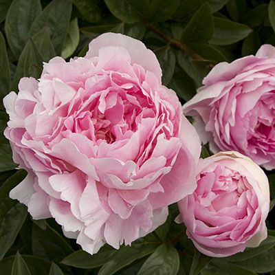 """'Lady Orchid'<p style=""""font-style: italic"""">Herbaceous peony</p> - 20 Beautiful Peonies - Sunset"""