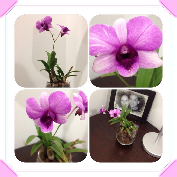 Orquídea Dendrobium Dendrobium Orchid