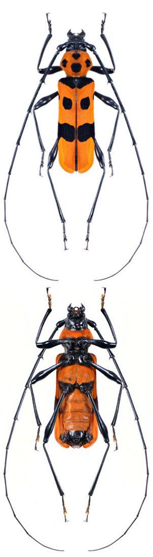 Anoplodera (Rosalia) formosa conviva