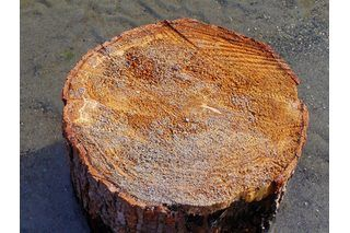 There are a variety of decor items you can make from sawed-off tree stumps, including bookends, candlesticks or picture display pieces. You can also seal tree stumps and place them in your home or garden as extra seating. Seal tree stumps after they've dried for several days to avoid rotting. Purchase wood sealant at hardware or home improvement...