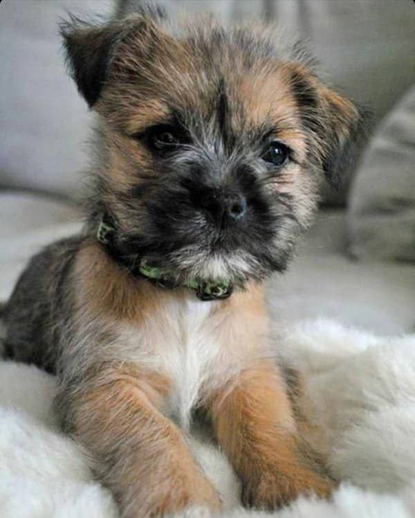 23 Reasons You Should Never Adopt A Border Terrier In 2020 Cairn Terrier Puppies Border Terrier Puppy Terrier Puppies