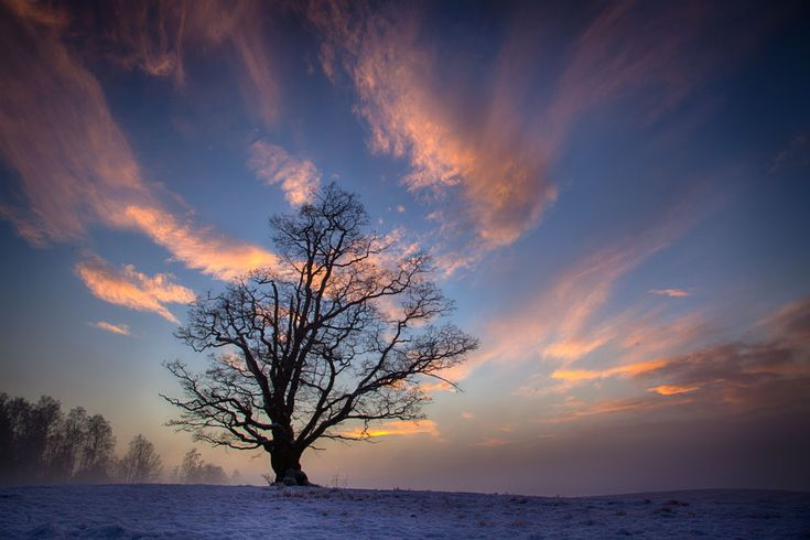 The old oak. Photo: John Einar Sandvand