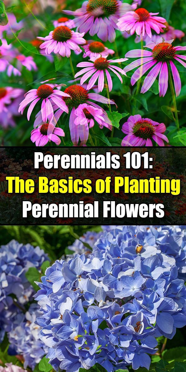 Perennials 101 The Basics Of Planting Perennial Flowers In Your