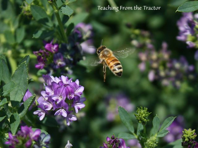Honey bee pollinating alfalfa seed- Teaching From the Tractor