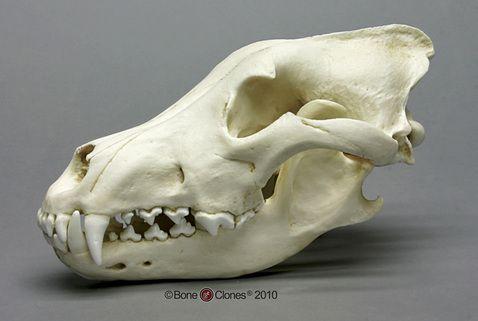 Siberian (Gray) Wolf Skull