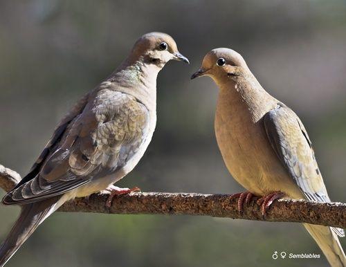 Tourterelle triste.Mourning dove, gros oiseau vert olive souvent vu en couple et qui passe l'année avec nous.Son chant ressemble à celui du hibou, à la différence que le hibou chante la nuit et la tourterelle le jour.