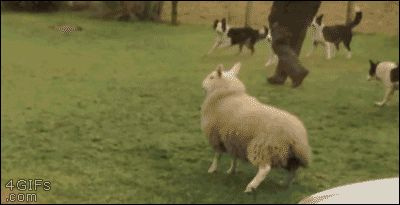 Raised By Collies, This Lamb Thinks She Is A Dog