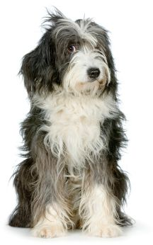 Bearded Collie-  A fluffier version of Clyde