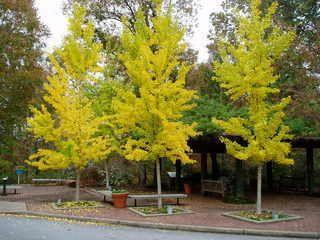 Ginkgo   Japanse notenboom