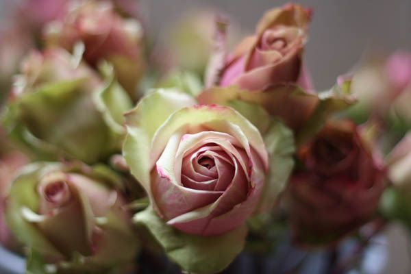 Dusky Pink Peppermint Rose has a vintage pink centre with pale green outer petals - lovely!