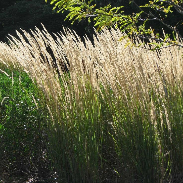 17 best images about grasses clump forming non invasive for Tall feather grass