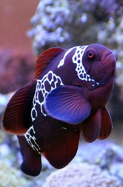 Lighting Maroon Clownfish (Premnas epigrammata