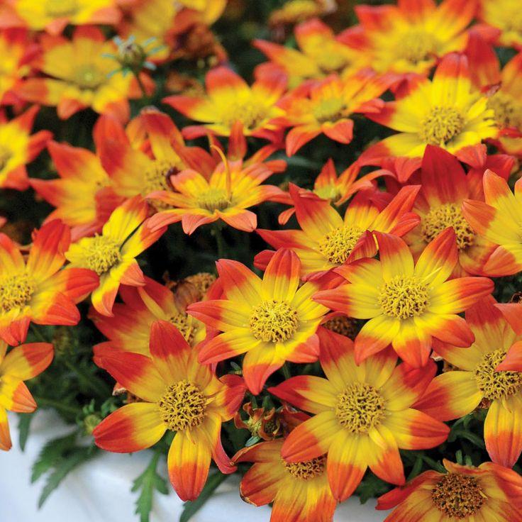 Bidens 'BeeDance Painted Red' - Annual Plants - Thompson & Morgan