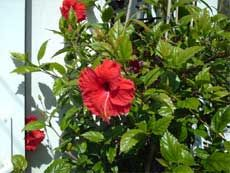 Wintering Hibiscus Indoors: Winter Care For Hibiscus