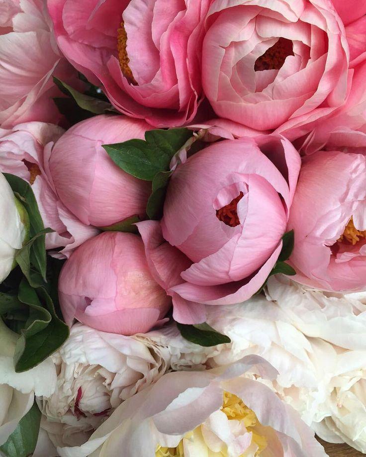 цветы пионы фото красивые картинки проще