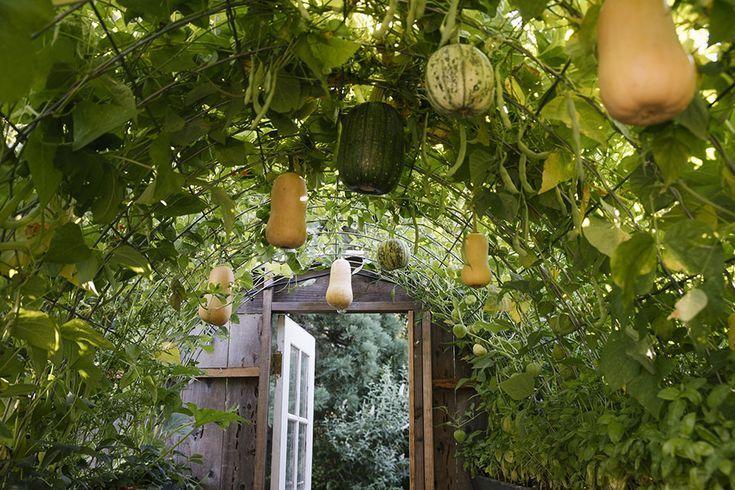 How To Build A Butternut Squash Garden Trellis Pumpkin Trellis Vegetable Trellis Pumpkin Garden